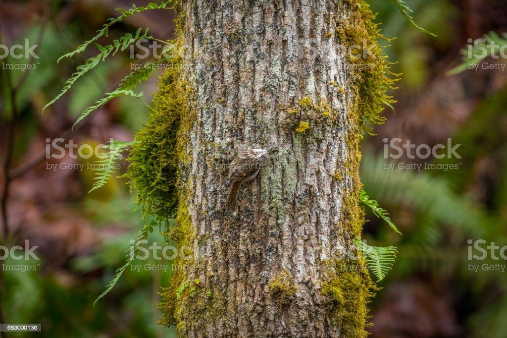 El creeper marrón (Certhia americana), también conocido como el Agateador norteño americano. foto de stock libre de derechos