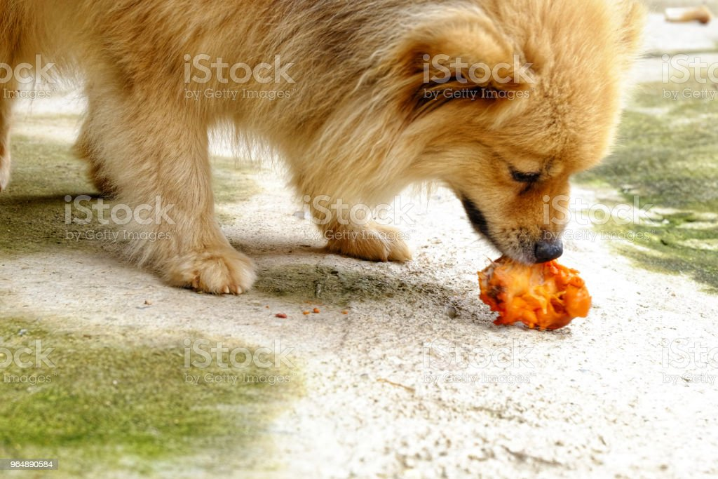 The brown dog is eating delicious chicken on the concrete floor. royalty-free stock photo