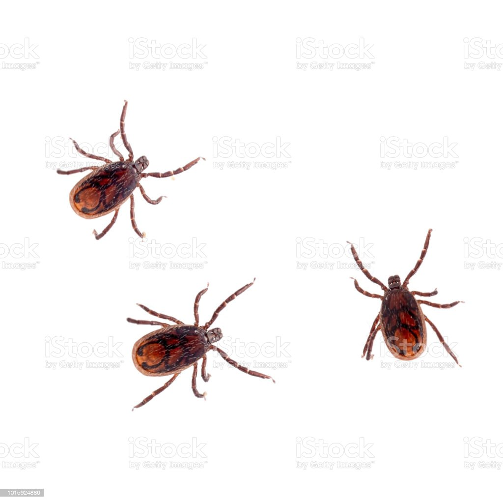 The brown dog tick, Rhipicephalus sanguineus isolated on white background. Dog risk for many conditions including babesiosis, ehrlichiosis, rickettsiosis, and hepatozoonosis. stock photo