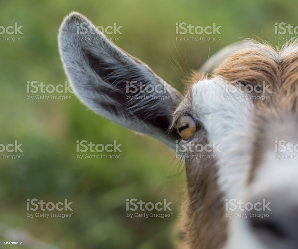 The brown goat is looking at the camera. royalty-free stock photo