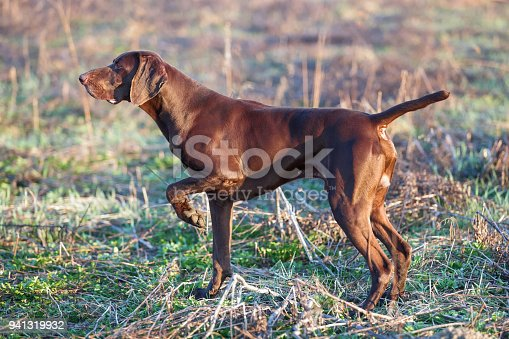 The brown hunting dog freezed in the pose smelling the wildfowl in the green grass. German Short-haired Pointer.