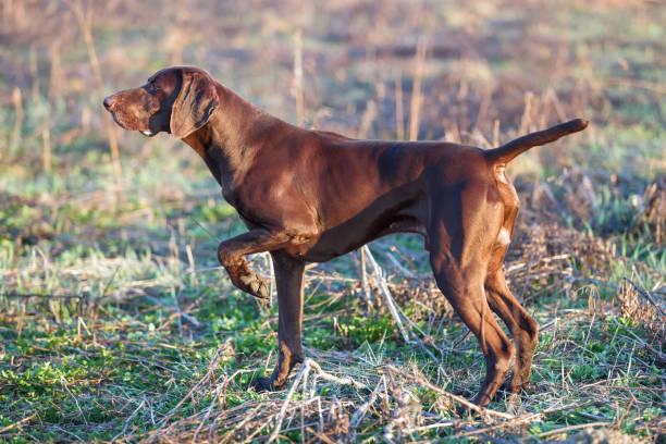 El perro de caza marrón congelado en la pose que huele las aves silvestres en la hierba verde. Pointer alemán de pelo corto. - foto de stock