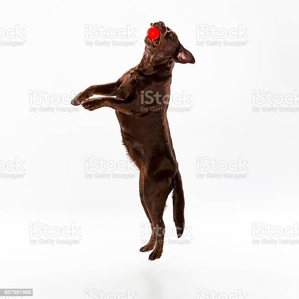 The brown labrador retriever on white picture id637991668?b=1&k=6&m=637991668&s=612x612&h=6hepjalwxeazdahh0sfgvo60tsgf 2 l3rgihemj9ay=