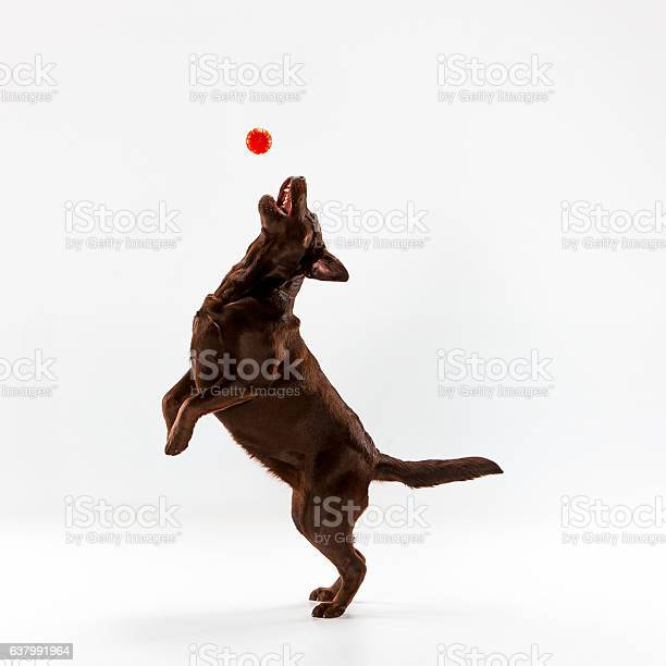 The brown labrador retriever on white picture id637991964?b=1&k=6&m=637991964&s=612x612&h=2w3nu3lzpjgmexohut3ui8emlfz mhemc8khlz6tzm0=