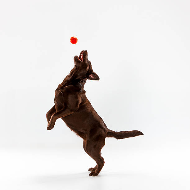 the brown labrador retriever on white - dog jumping stock photos and pictures