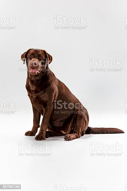 The brown labrador retriever on white picture id637992260?b=1&k=6&m=637992260&s=612x612&h=yz5ihlcb xbhqxfbwpyj95puntwmpa6q14kobkbqsqq=