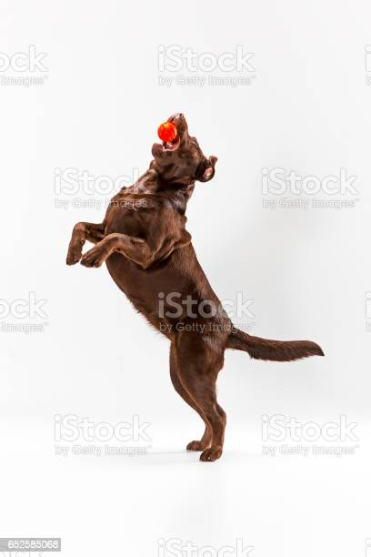 The brown labrador retriever on white picture id652585068?b=1&k=6&m=652585068&s=612x612&h=bzsute515zt83pclrz3c2lpyjarbalajj8dbpbuimwq=