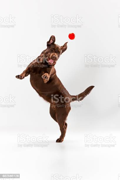 The brown labrador retriever on white picture id652585126?b=1&k=6&m=652585126&s=612x612&h=ew7dryze ewiyp9qzjmj4mnj71fp8e2m18lcmvowcew=