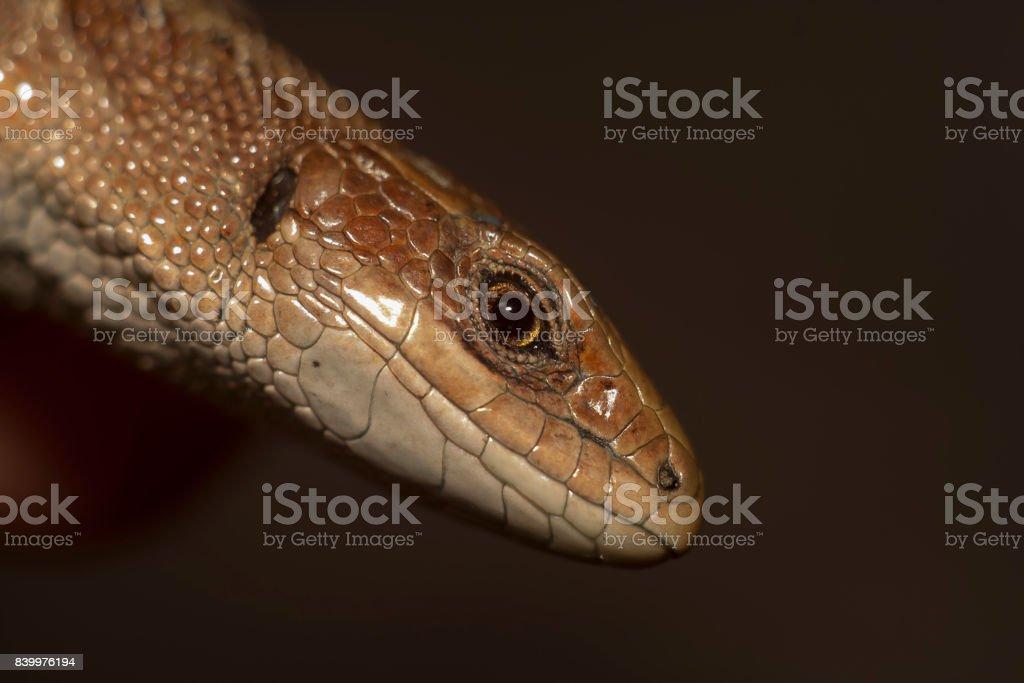 the brown lizard stock photo