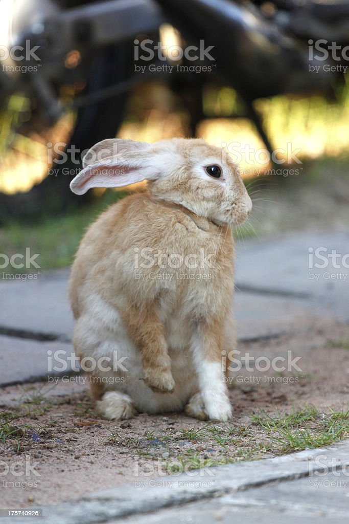 The Brown Rabbit is Sit. royalty-free stock photo
