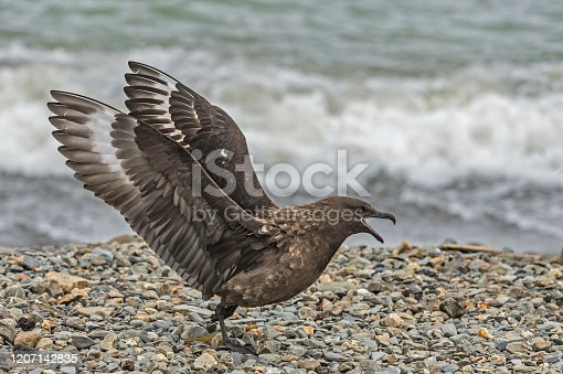 The brown skua (Stercorarius antarcticus), also known as the Antarctic skua, subantarctic skua, southern great skua, southern skua found at Ocean Harbor on South Georgia Island.