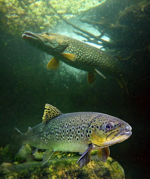 Die Europäische Forelle und Northern Pike. – Foto