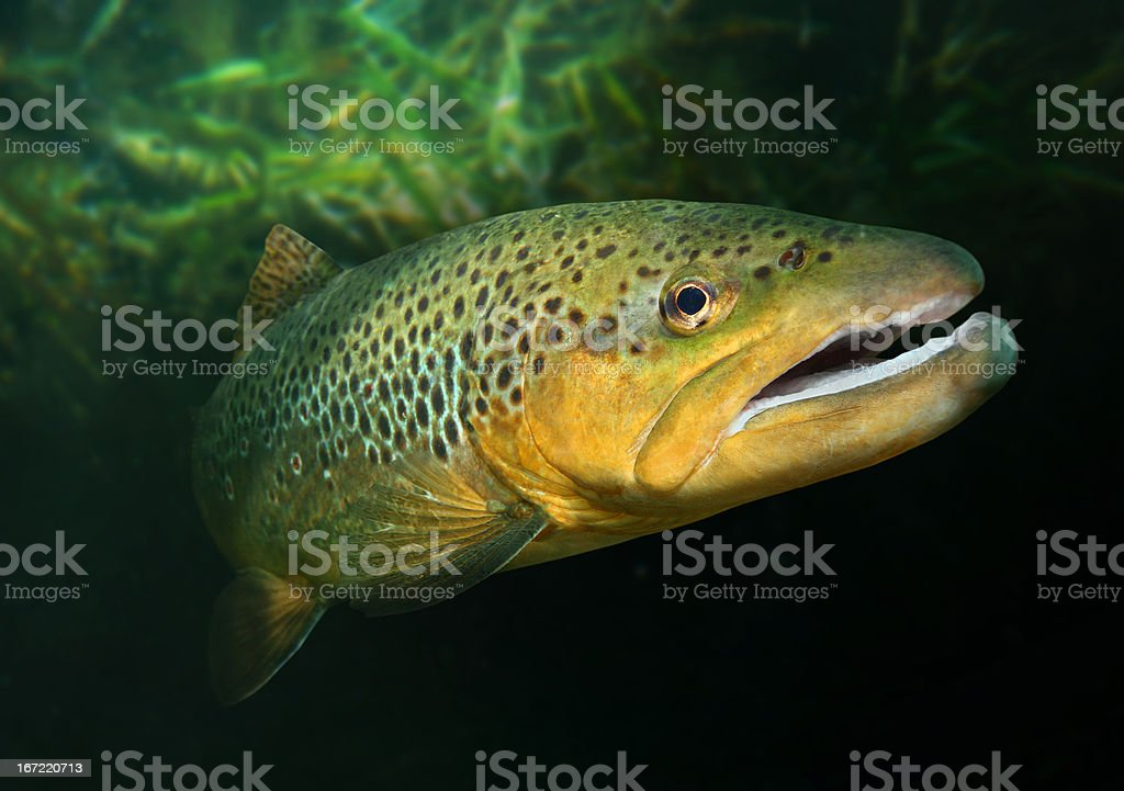 The Brown Trout (Salmo trutta). stock photo