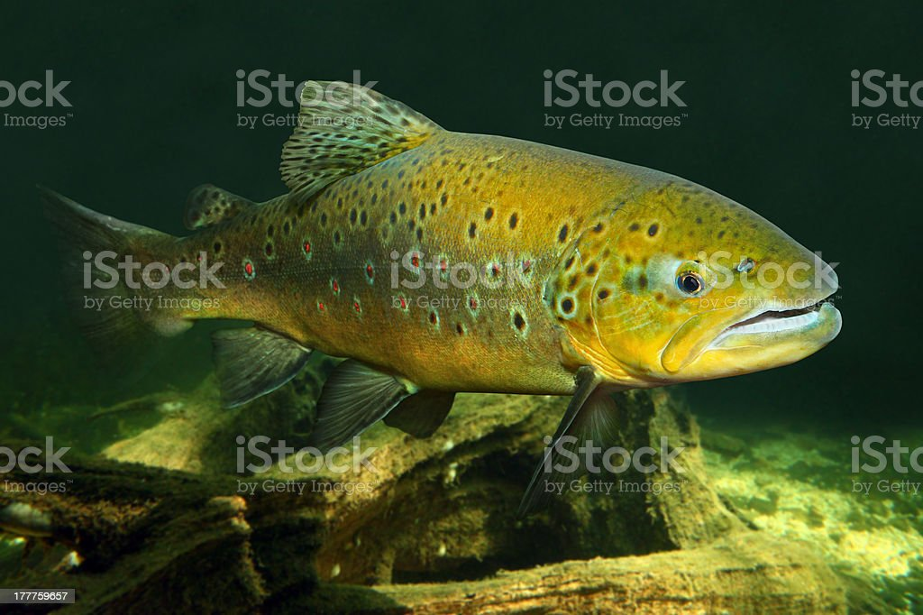 The Brown Trout (Salmo trutta). royalty-free stock photo