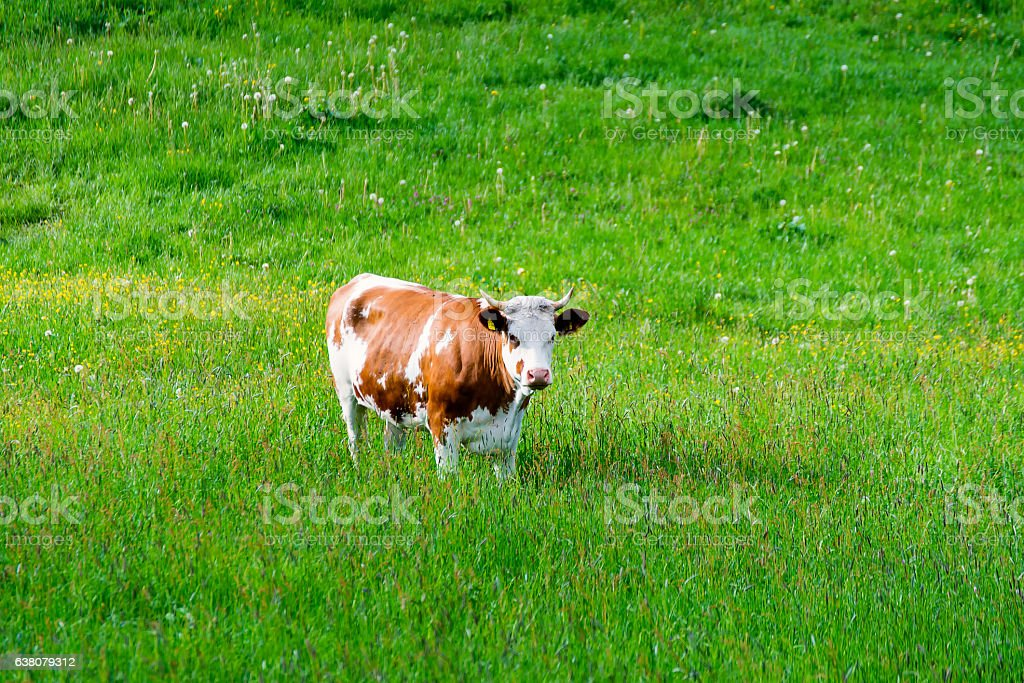 The Brown white Cow stock photo