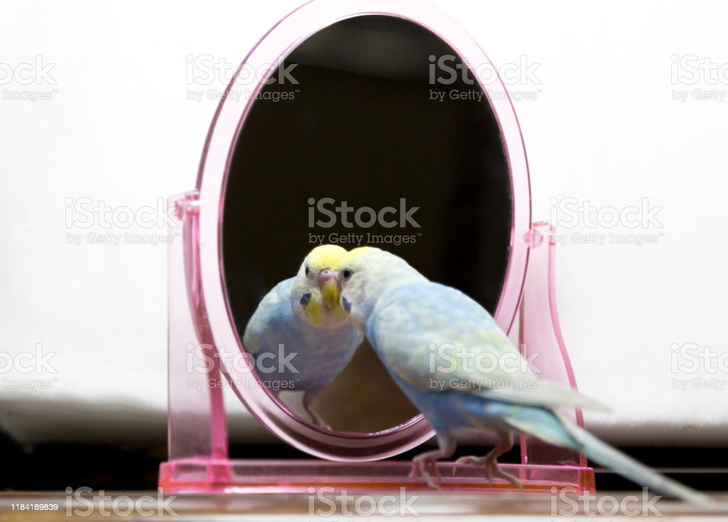 The budgerigar (parakeet)which relaxes in a room Friendly and cute Animal Stock Photo