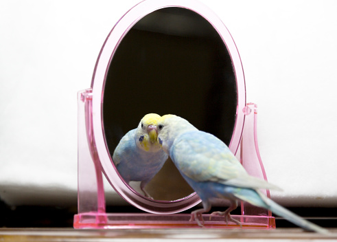 The Budgerigar Which Relaxes In A Room Stock Photo - Download Image Now