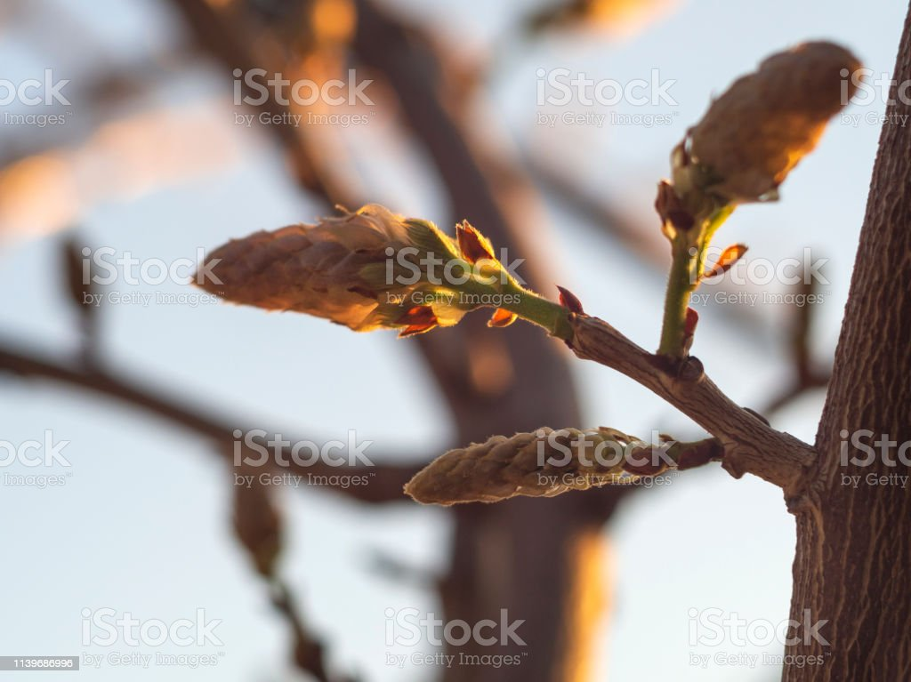 The Buds Of The Wisteria Vines In The Sunset Stock Photo