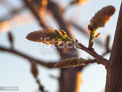 The buds of the Wisteria (Wisteria sinensis) vines in the sunset