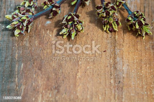 istock The buds on the branches of the maple blossom in spring on a wooden background. Copy space 1330016089