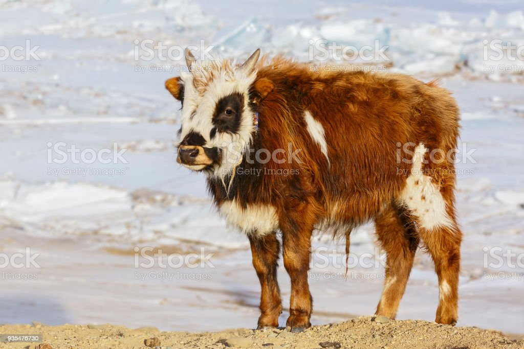 The bull is set against a backdrop of a lake in winter stock photo