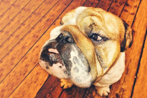 The bulldog portrait - foto stock