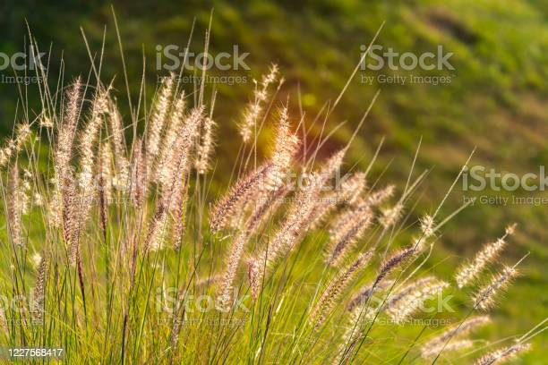 Photo of The bulrushes against sunlight in sunset