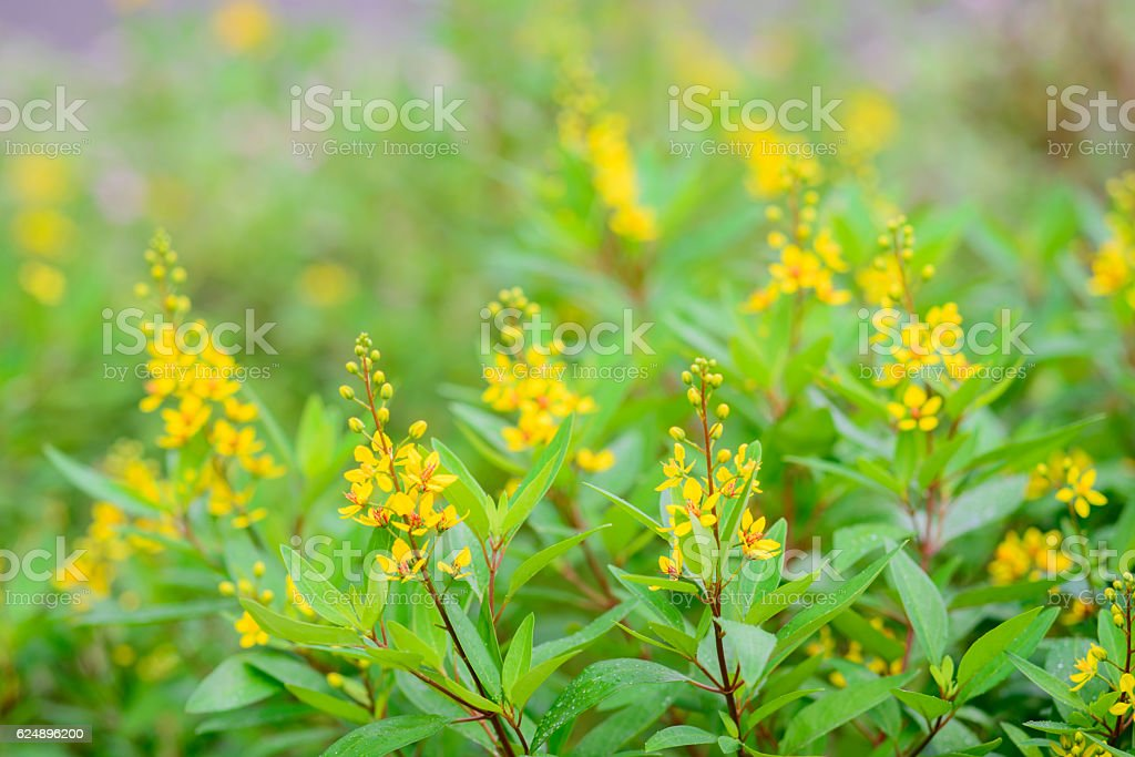 The bush of full bloom yellow shower of gold flowers stock photo the bush of full bloom yellow shower of gold flowers royalty free stock photo mightylinksfo