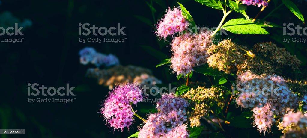 The bush of spirea. stock photo