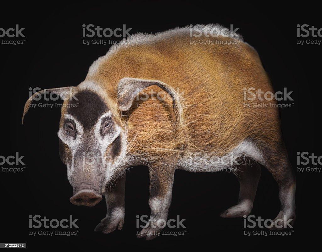 The bush pig stock photo