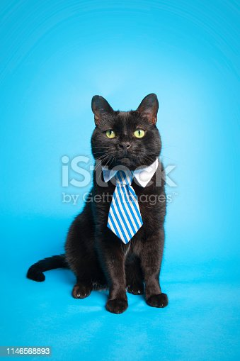 An adorable black cat wearing a tie posing on a blue backdrop.