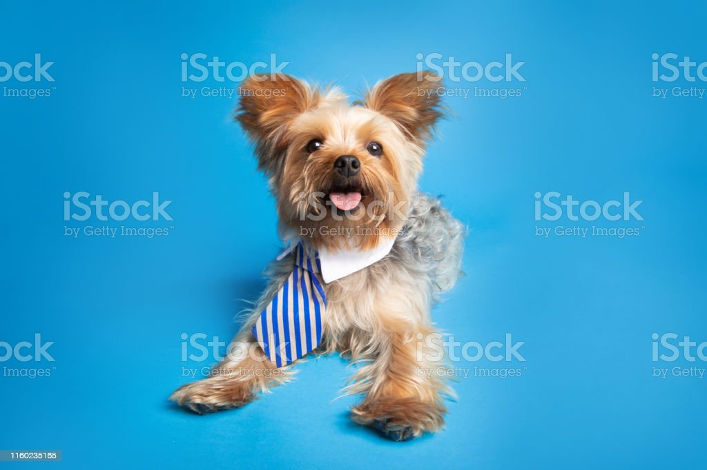 An adorable Yorkshire Terrier in a cute business tie photographed on...