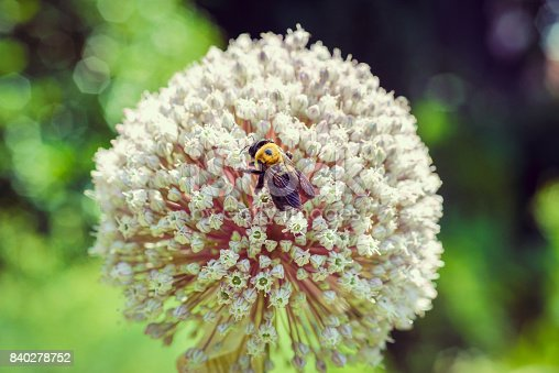 Large globe allium with a bee on it, beautiful close up macro nature botanical