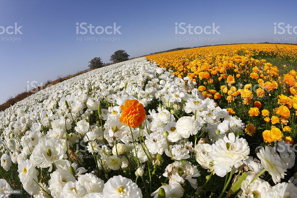 The buttercups royalty-free stock photo