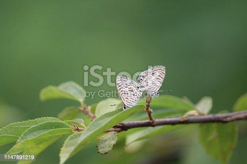 The white beautiful butterflies