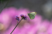 Amazing macro shot of large white butterfly, Pieris brassicae, feeding from a Purpletop Vervain flower, Verbena bonariensis, on purple background of Colchicum autumnale. Selective focus, copy space