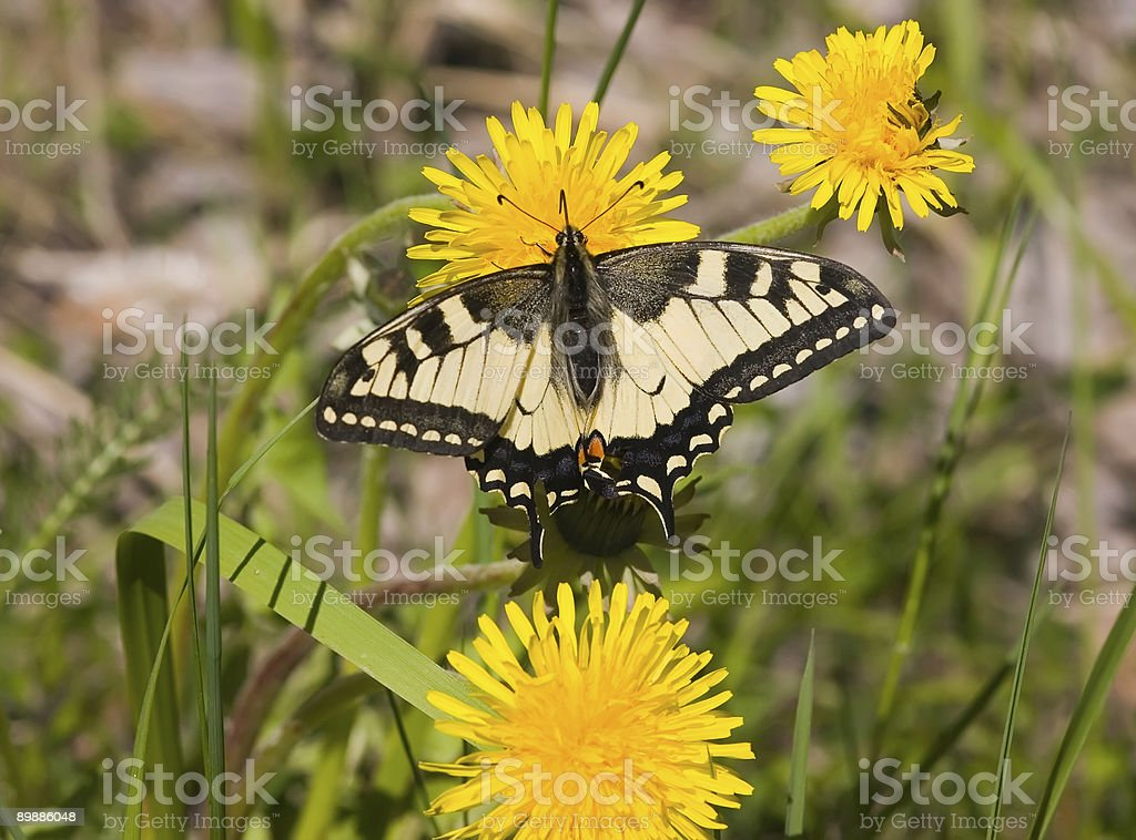 The butterfly on a dandelion royalty-free stock photo