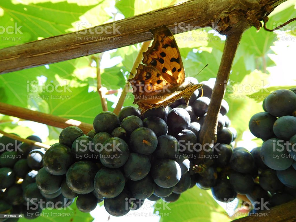 The butterfly on the cluster of grapes hanging on trellis stock photo