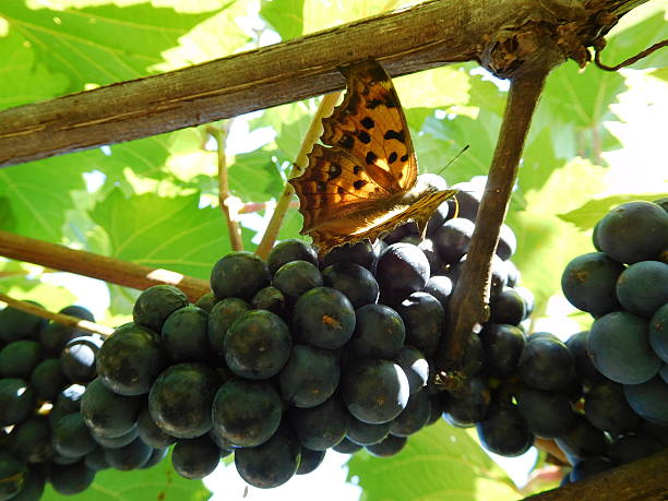 The butterfly on the cluster of grapes hanging on trellis – Foto