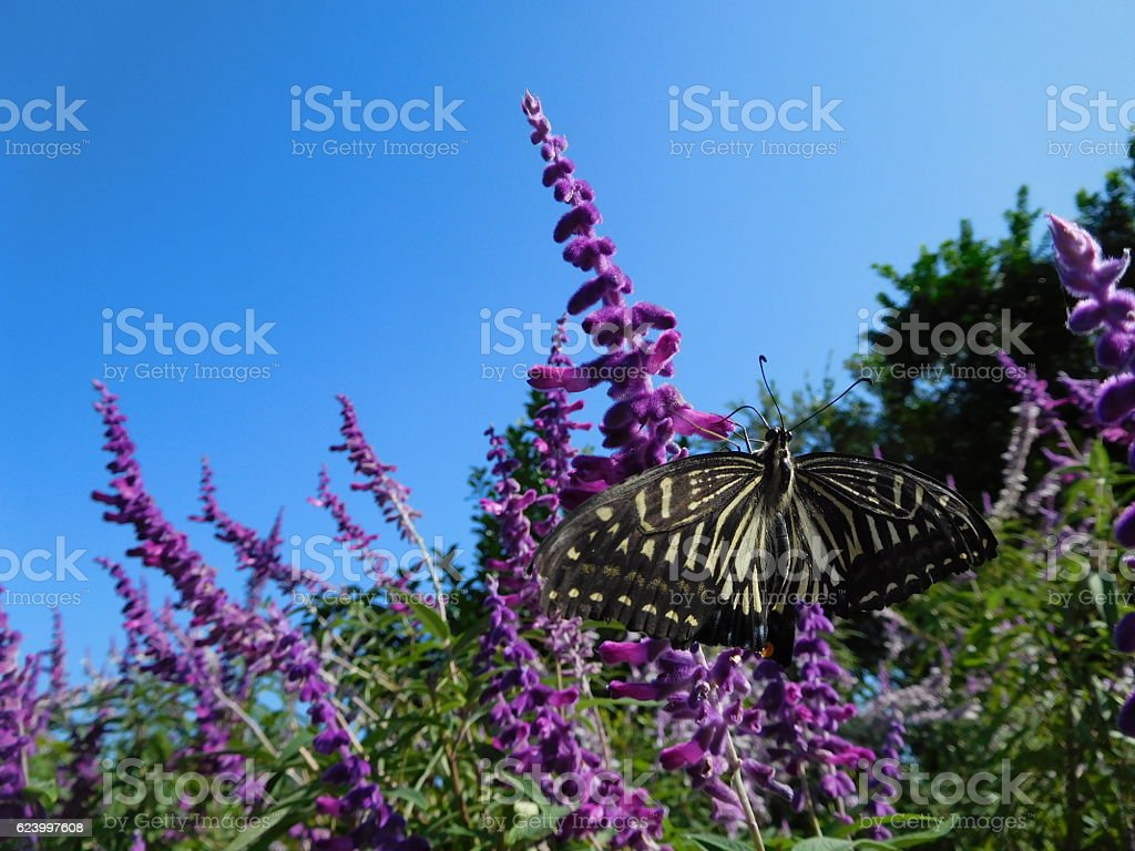 The butterfly on the purple flowers of sage stock photo