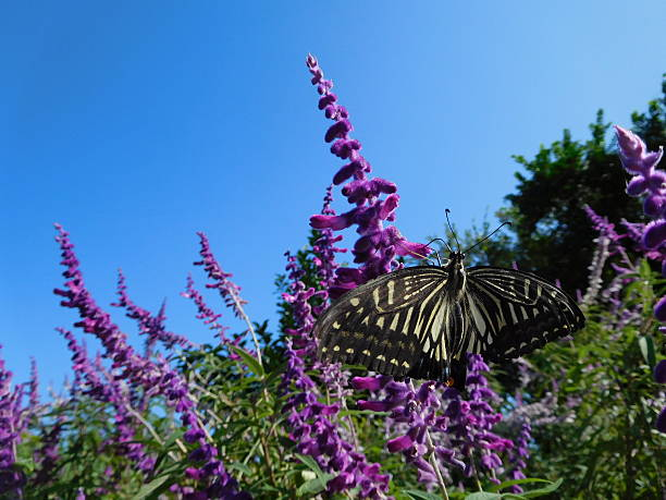 The butterfly on the purple flowers of sage – Foto