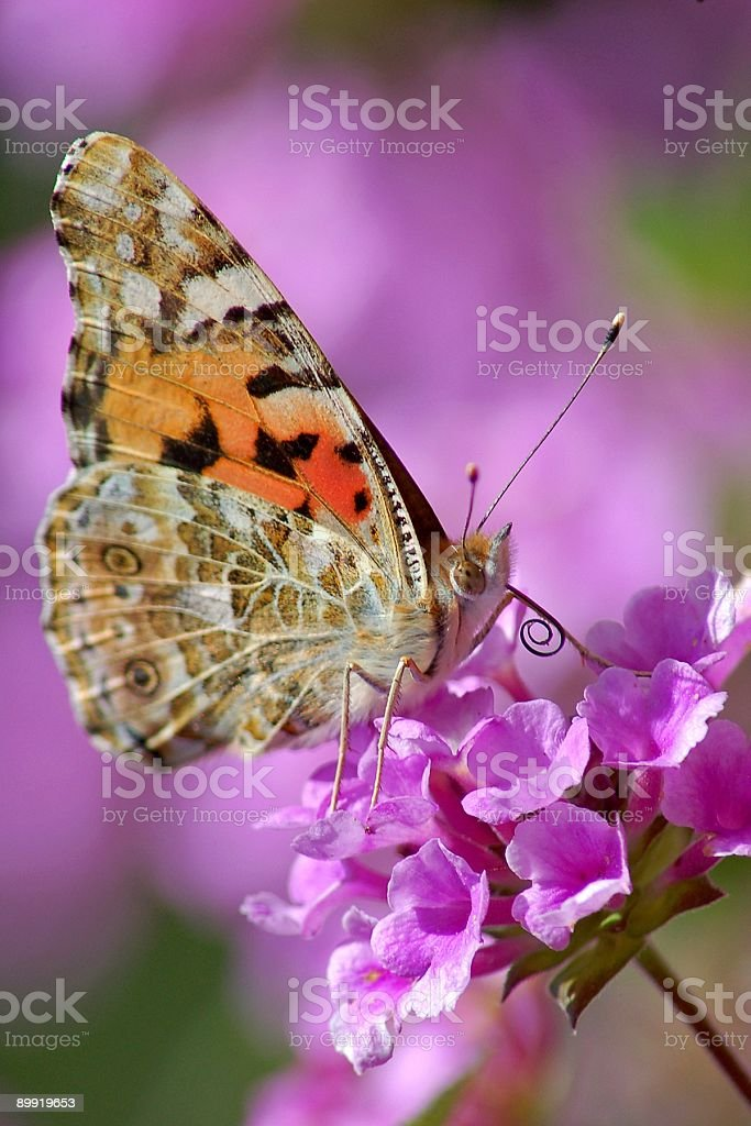 The butterfly Vanessa cardui stock photo