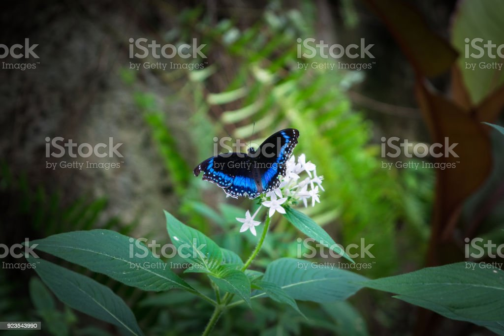 The butterfly with black and blue wings on the white flower in Cairns, Ausrtralia stock photo