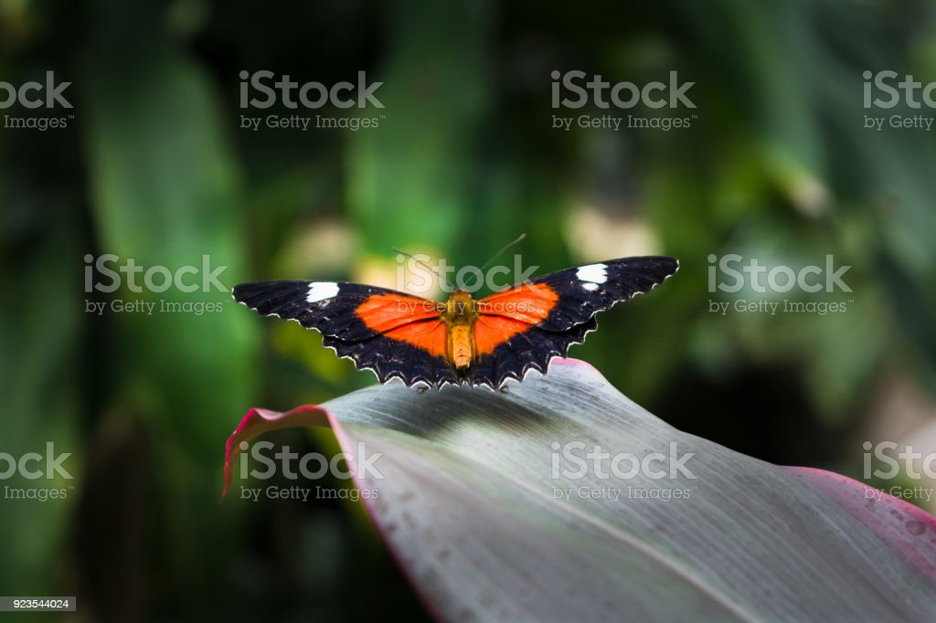 The butterfly with red, black, white wings in the bush in Cairns, Australia stock photo
