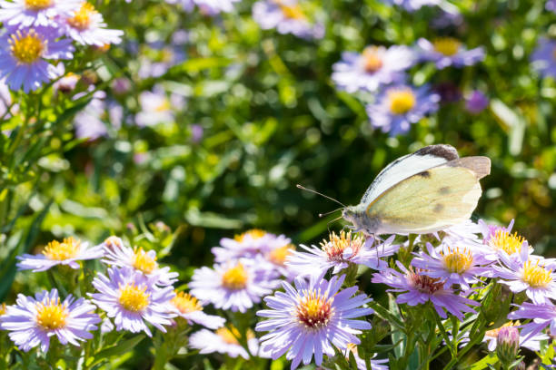The cabbage butterfly sitting on a flower (Aster amellus) and feeding on nectar stock photo