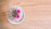 The cactus has blossomed, small pink flowers developed between white spines. Top view of a succulent in a white pot. The flower stands on a wooden bright table.