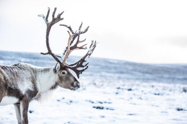 The Cairngorm Reindeer Herd stock photo