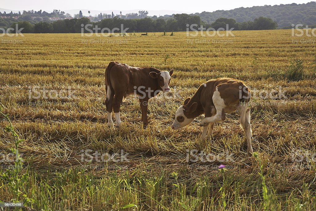 The calfs royalty-free stock photo