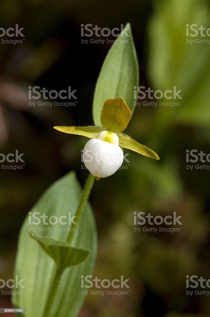 The California lady's slipper (Cypripedium californicum) stock photo
