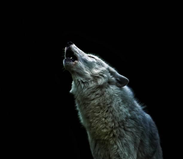uppringande - wolf bildbanksfoton och bilder